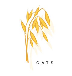Oats ear infographic with realistic vector