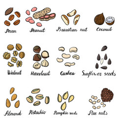 Set of drawing nuts vector