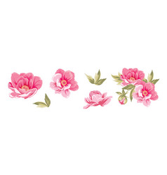 set different peonies on white background vector image