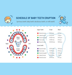 schedule of baby teeth eruption primary teeth vector image