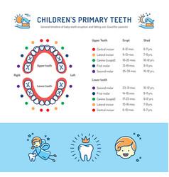 Children primary teeth schedule of baby teeth vector