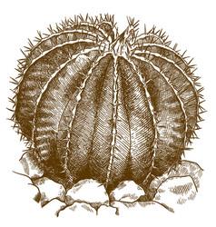Engraving of ferocactus vector