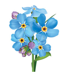 bunch blue forget me not flowers vector image