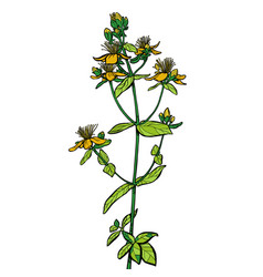 hypericum medicinal plant vector image
