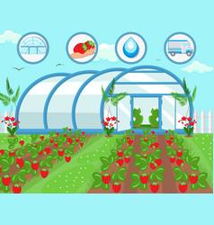 strawberries in greenhouse vector image