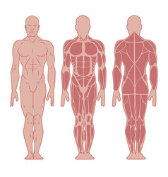 Anatomy male muscular system vector