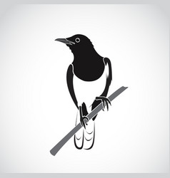 Bird on white background oriental magpie robin vector