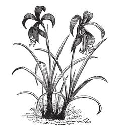 belladonna lily engraving vector image vector image