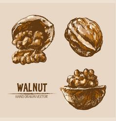 Digital detailed walnut hand drawn vector