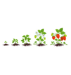 Strawberry plant growth stages fragaria vector