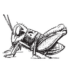 Locust development vintage vector