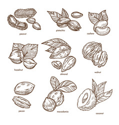 nuts isolated sketches healthy food and organic vector image