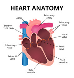 anatomy of the human heart vector image