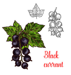 Black currant sketch fruit berry icon vector