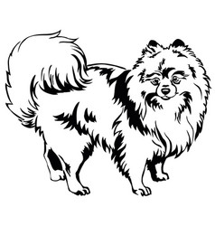 Decorative standing portrait of dog pomeranian vector