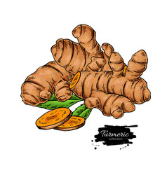 turmeric root hand drawn vector image