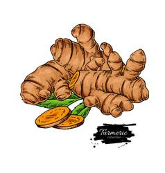 Turmeric root hand drawn vector