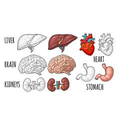 Human anatomy organs brain kidney heart liver vector