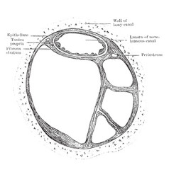 Section of semicircular canals vintage vector