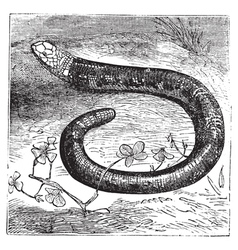 worm lizard engraving vector image