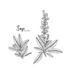 Vintage engraving of sage healing vector