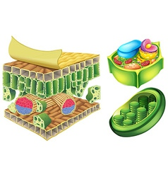Plant cells vector