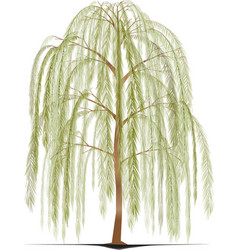weeping willow tree vector image