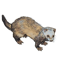 Drawing of ferret vector image