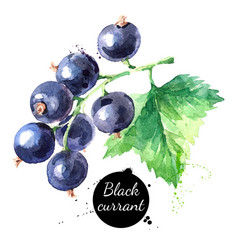 Hand drawn watercolor painting black currant vector
