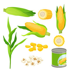 sweet corn set fresh corncobs popcorn canned vector image
