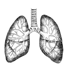 Hand drawn human lungs isolated vector