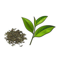 Hand drawn pile of dry green tea and fresh leaf vector