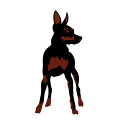Miniature pincher dog manchester terrier vector