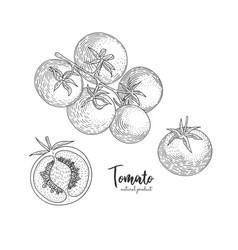 tomato hand drawn in the style vector image