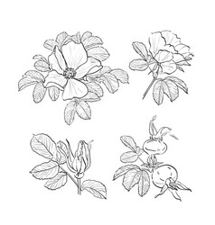 dog-rose drawing flowers hand-drawn wild rose vector image
