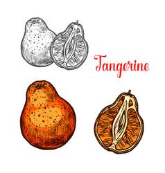 Tangerine citrus fruit sketch of mandarin orange vector