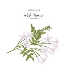 White jasmine jasminum officinale flowers and vector
