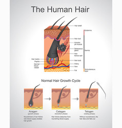 human hair infographic structure vector image vector image