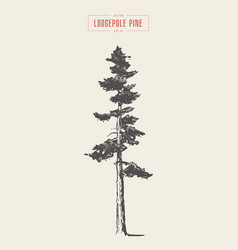 high detail vintage lodgepole pine drawn vector image