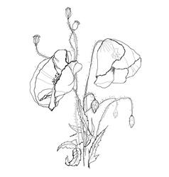 Poppies vector