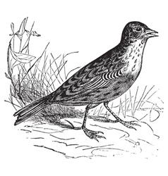 Skylark vintage engraving vector