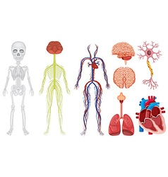 Different system in human body vector image vector image
