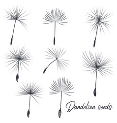 collection dandelion seeds vector image