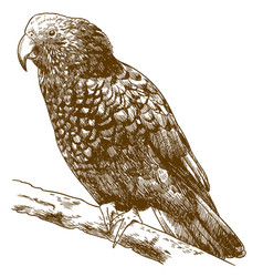 Engraving drawing of new zealand kaka vector
