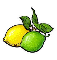 Whole shiny lime and lemon with fresh green leaf vector