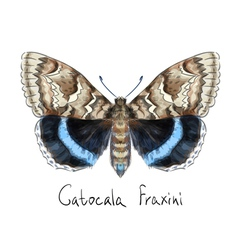 Butterfly Catocala Fraxini Watercolor imitation vector image vector image
