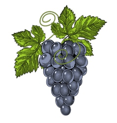 Red wine grapes in vintage engraved style vector image