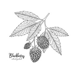 Hand drawn of blackberry isolated on vector