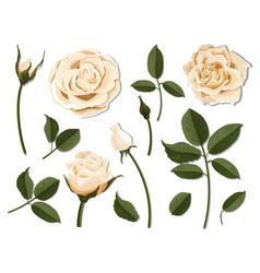 set of cream rose flower parts vector image