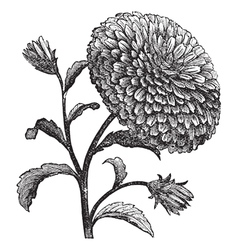 Double China Aster vintage engraving vector image vector image